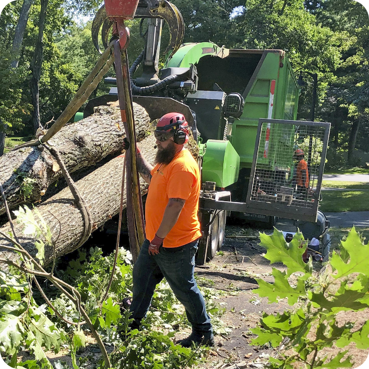 Iron Tree Massachusetts Tree Removal